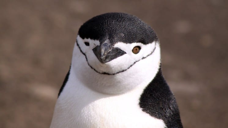 A close-up portrait of a penguin, revealing its eyes and beak and black and white feathers, in antarctica