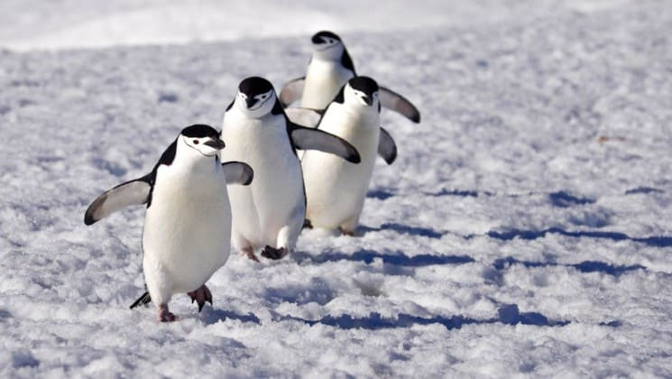 Three penguins march in a straight line in antarctica