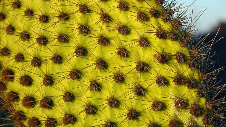 a close up photo of a cactus shows its yellow skin and prickly spines at the Galapagos islands