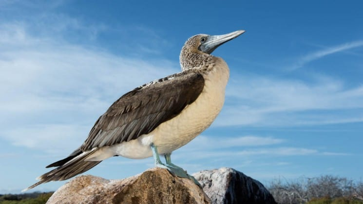 A blue footed booby stands on a perch with the sky in the background, at the Galapagos Islands