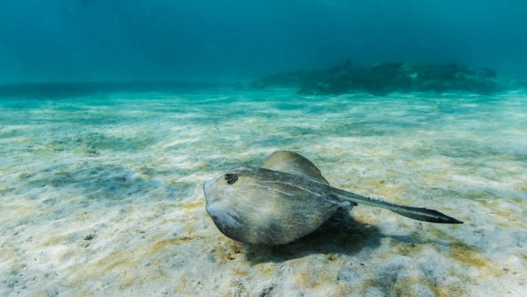 An underwater photo of a stingray swimming just above the sand at the Galapagos Islands, where guests on the Coral cruise ships can experience sea life.