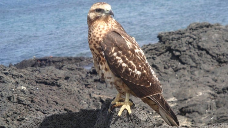 A falcon stands on a rocky bluff in front of the ocean at the Galapagos Islands.