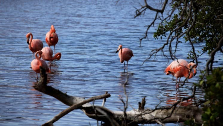 A flock of flamingos stand in shallow water beyond a group of trees at the Galapagos Islands, during an excursion from the Coral sister cruise ships.