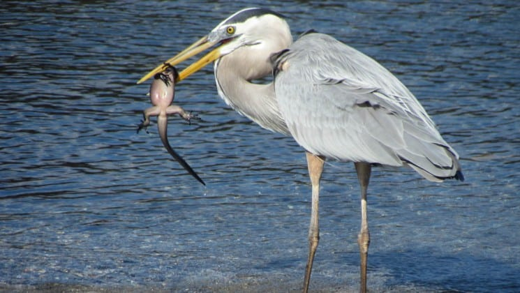 A great blue heron hunts for his next meal, with his prey dangling from his beak, at the Galapagos Islands.