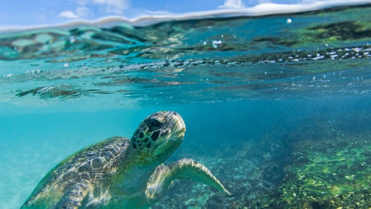 An underwater photo of a green sea turtle swimming in a reef in the Galapagos Islands, near the Coral sister cruises.