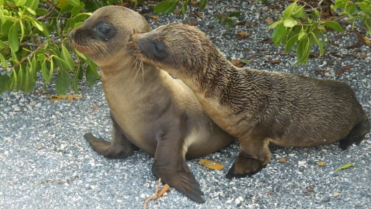 Two sea lion pups nuzzle each other on the Galapagos Islands