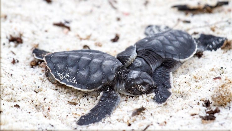 Baby sea turtles crawl across the white sand on the Galapagos Islands.