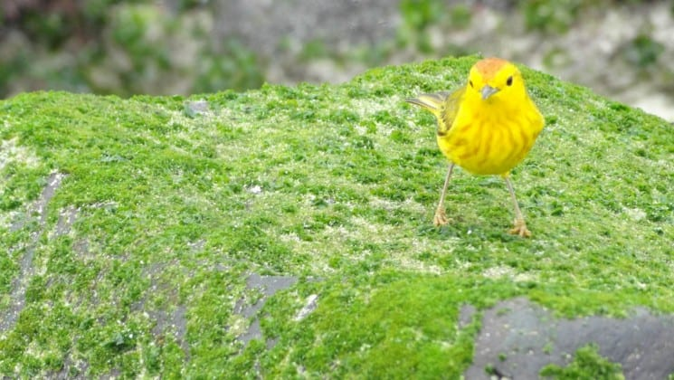 A bright yellow bird stands in green grass on the Galapagos Islands.