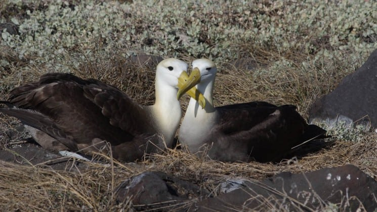 Two albatross birds nest side-by-side on the Galapagos Islands, during an excursion from the Coral sister cruise ships.