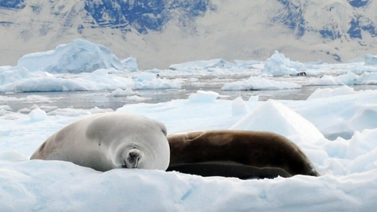 two crabeater seals, one white and one dark, lie down and sleep on the icecap in antarctica, as seen from the polar circle crusie