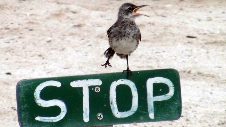 "A Darwin's Finch perches on the top edge of a green sign with the word ""stop"" painted in white letters, at the Galapagos Islands during the Legend luxury cruise"