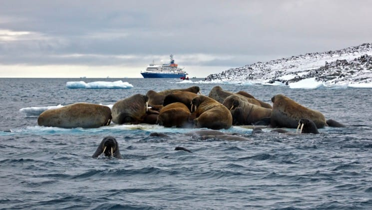 walruses lounge on rocks surrounded by the ocean, while a ship for the russian high arctic voyage to franz josef land is anchored in the background