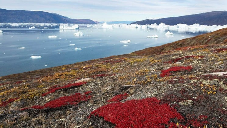 Red bushes dot the hillside of the tundra, overlooking the ocean and ice caps in the arctic circle