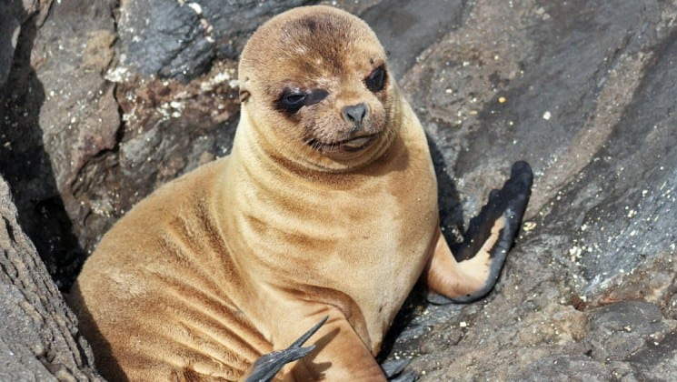 A sea lion pup is wedged between rocks at the galapagos islands