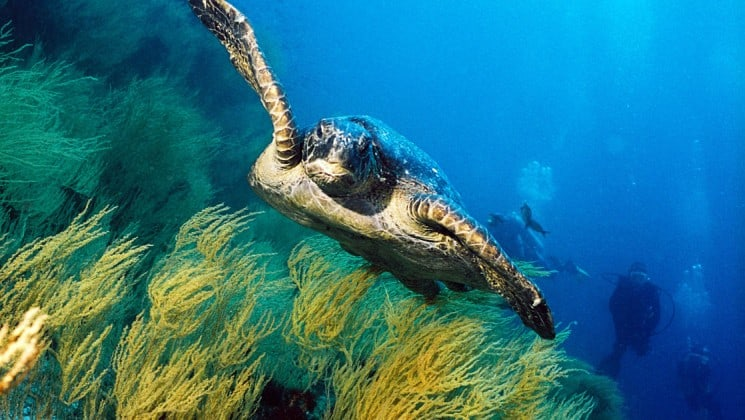a sea turtle soars above green grass and through the clear ocean waters at the galapagos islands