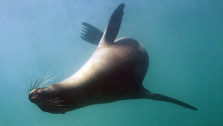 an underwater photo of a sea lion arcing a turn and swimming in the galapagos islands