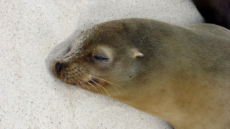 A sea lion rests its head on the white sand of a beach at the Galapagos Islands