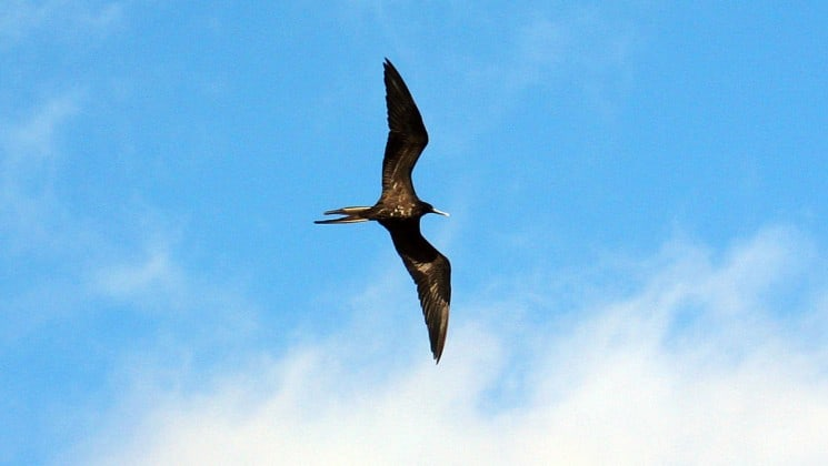 a frigate bird flies across the blue sky with clouds at the Galapagos islands