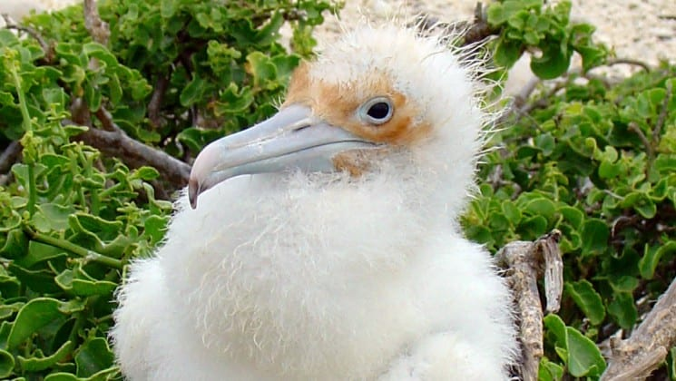 A fluffy, fuzzy white chick with small, curly feathers sits amid a green bush on the Galapagos Islands