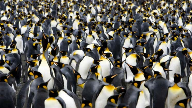 A colony of king penguins takes up the entire frame of the photo, as seen on an expedition to antarctica