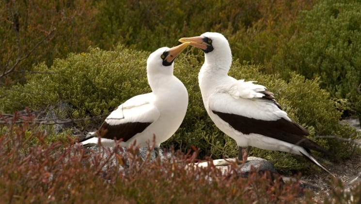 two birds pose among bushes at the galapagos islands