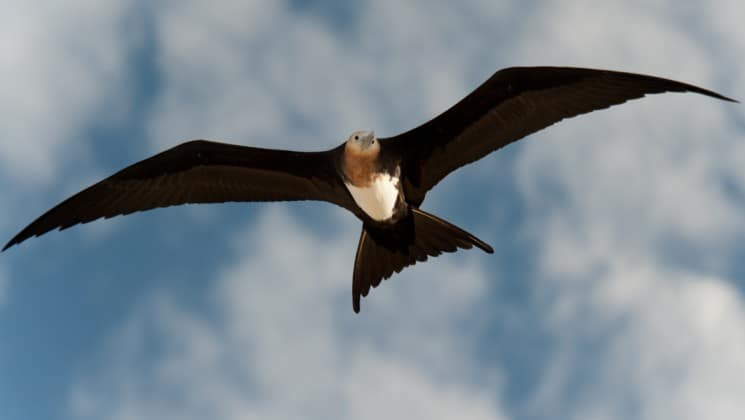 a frigate bird takes flight in the sky with clouds at the galapagos islands