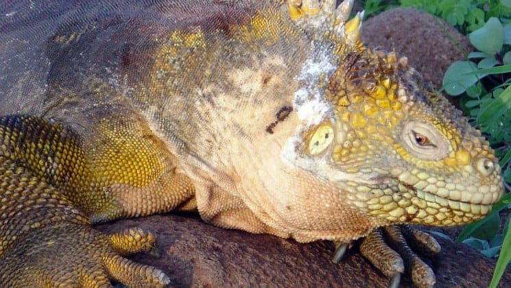 A close up photo of an iguana on the Galapagos Islands shows its reptilian features, like scales and spines