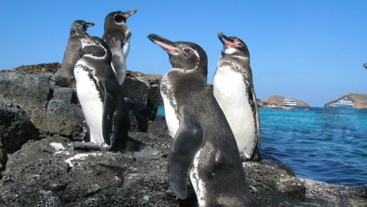 a group of penguins stand among rocks with the ocean in the background at the galapagos islands