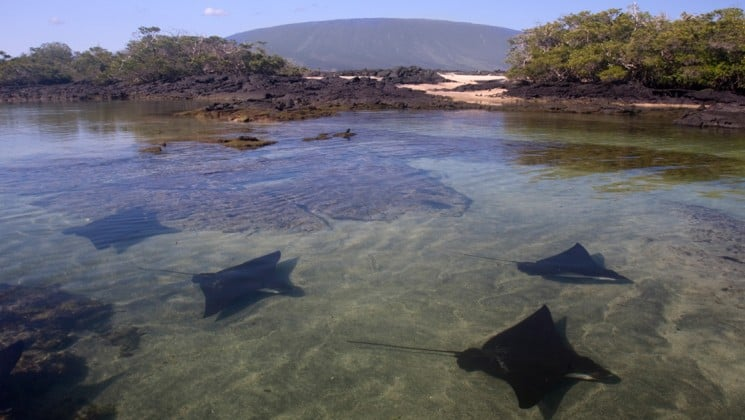 a group of rays swim under clear water with rocks jutting out into the air at the galapagos islands