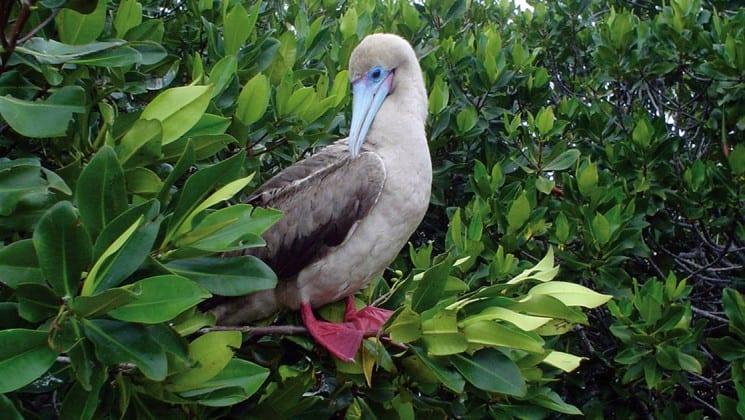 A red-footed booby is perched in a leafy, green tree, an example of the wildlife guests aboard the Isabella luxury yacht may see in the Galapagos Islands.