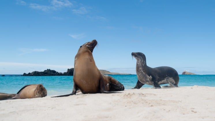 sea lions raise their heads and lounge in the sand with the turquoise ocean in the background at the galapagos islands
