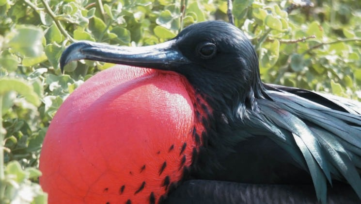 A frigate bird puffs its red chest out beneath its sharp beak, an example of the wildlife guests aboard the Isabella luxury yacht may see in the Galapagos Islands.