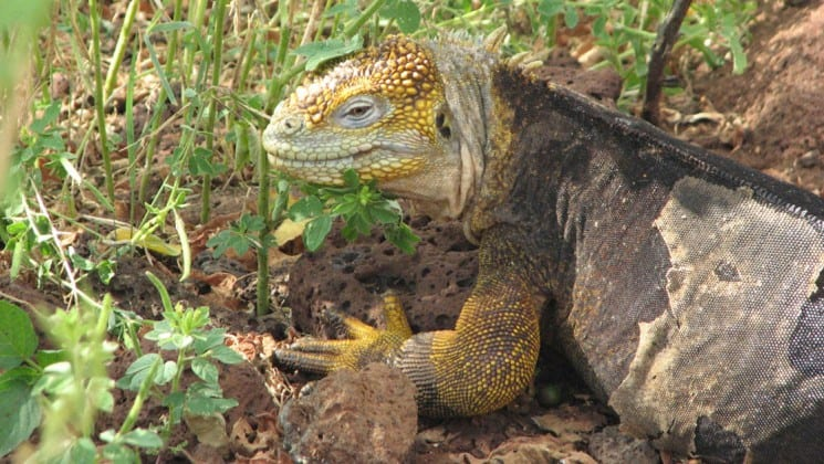 An iguana crawls through the bushes, as an example of the wildlife guests aboard the Isabella luxury yacht may see in the Galapagos Islands.