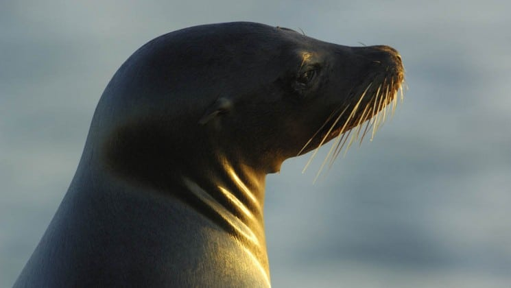 A close-up shot of a sea lion as it raises its head to get a better view, as an example of the wildlife guests aboard the Isabella luxury yacht may see in the Galapagos Islands.