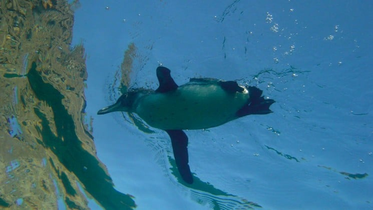 An underwater photo of a small penguin swimming in the Galapagos Islands, near the Isabella luxury cruise yacht.