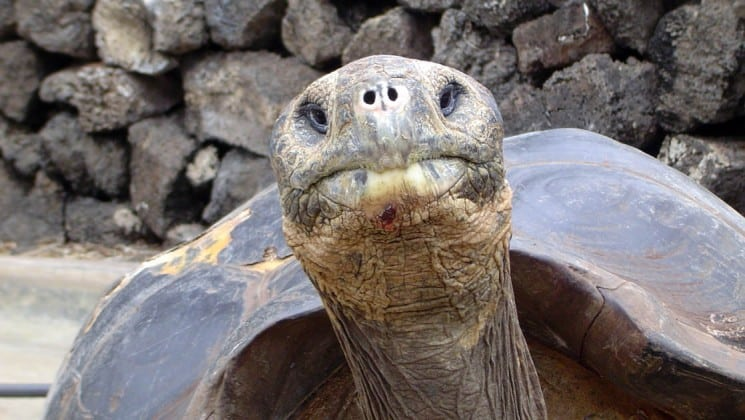 A tortoise sticks its head up and looks straight at the camera, with two eyes and a mouth.