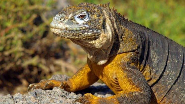 An iguana with orange and brown skin climbs up a rock in the sun at the Galapagos islands