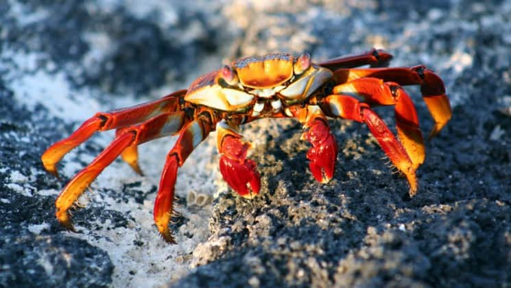 The bright reddish-white sally lightfoot crab scuttles across black rocks in the Galapagos Islands.