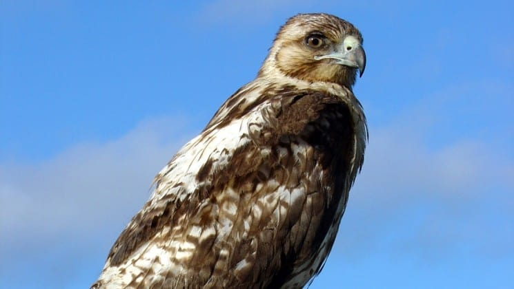 a close up photo of a hawk, standing with its wings folded, against blue sky with clouds at the Galapagos islands