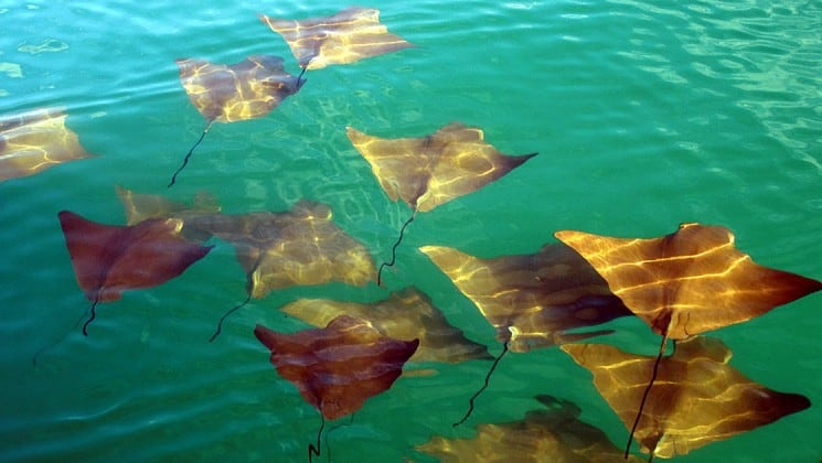 A pack of golden rays swim through turquoise water at the Galapagos Islands.