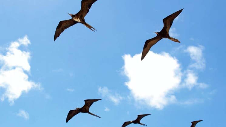 frigate birds fly in symmetry across a blue sky with white clouds at the Galapagos islands