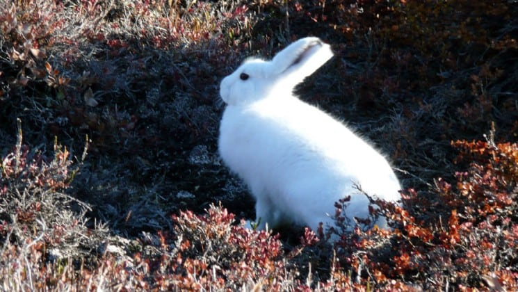 a white rabbit pauses on the tundra in greenland