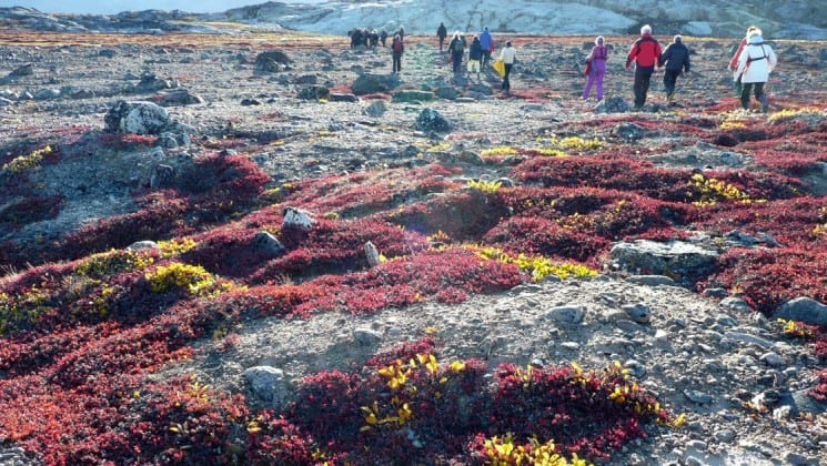 people hike on the tundra in greenland near red bushes