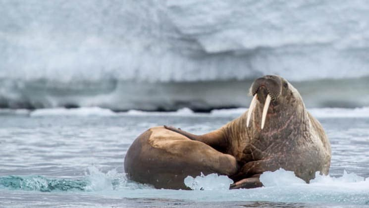 Two walruses on the pack ice in the arctic circle