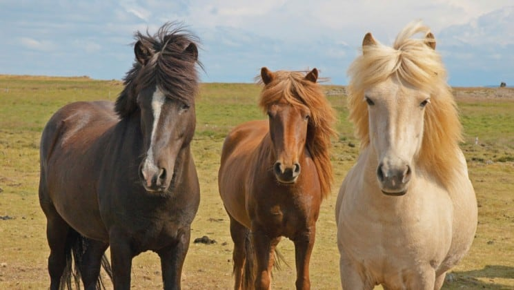 icelandic horses with wind brushing their hair aside stand on the tundra in iceland