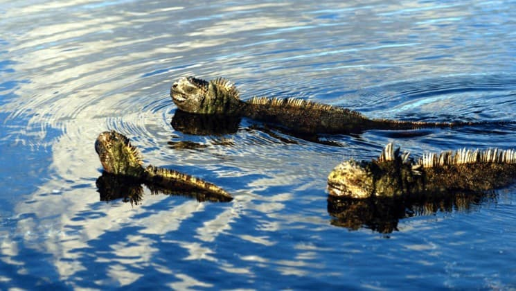 Three iguanas swim through calm water in the ocean at the Galapagos Islands