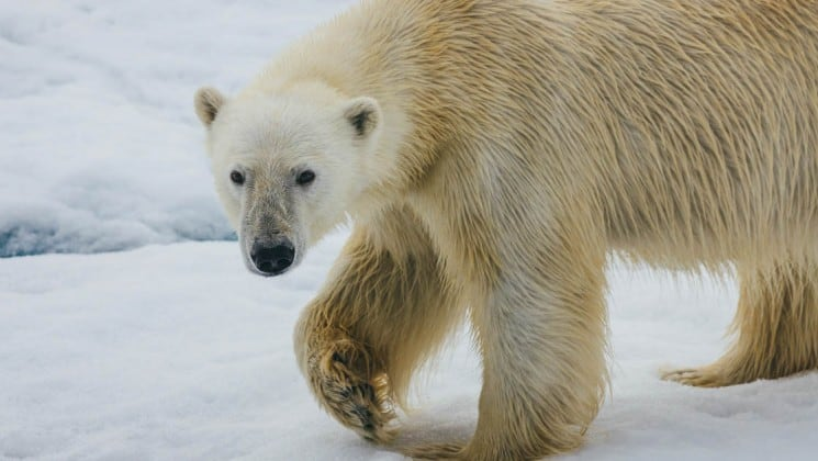 a polar bear walks across the pack ice, lifting its paw and staring directly at the camera, in the arctic