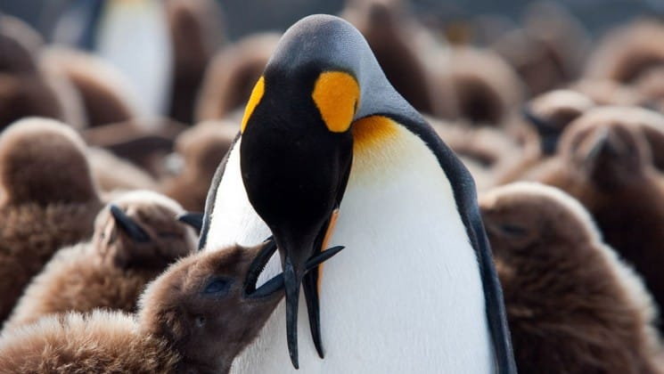 A king penguin feeds its chick in antarctica