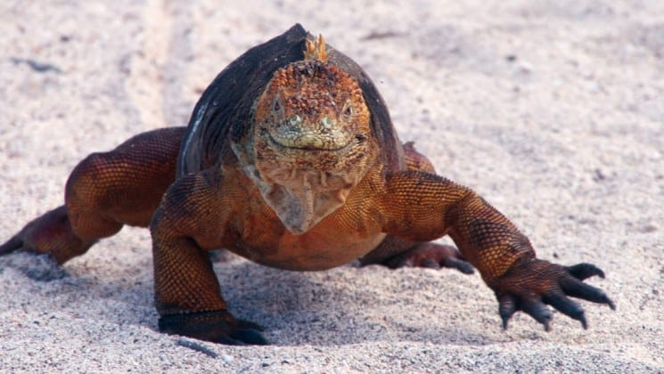 A reddish-brown land iguana lumbers across the sand on the Galapagos Island, one of the highlights of the ecosystem's unique wildlife that guests aboard the Legend luxury cruise will experience