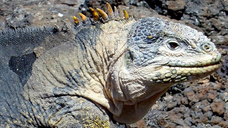 A Galapagos Land Iguana with its leathery skin and spines on its back is a native to the islands and a sight for visitors on the Grace cruise